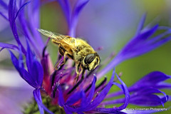 Drinking Deeply (Gary Grossman) Tags: flower macro nature closeup spring natural drink bee busy nectar siphon busybee