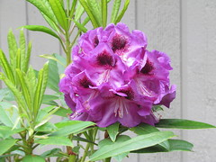Unknown Purple (dnoc) Tags: rhododendrons