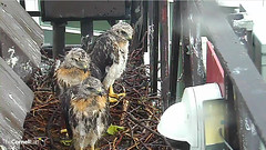 3 wet siblings (Cornell Lab of Ornithology) Tags: bird nest cams cornell redtailedhawk nestlings labofornithology cornelllabofornithology