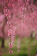(m3411) Tags: flower japan  japaneseapricot d600