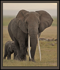 The Ivory Queen! (Rainbirder) Tags: kenya ngc africanelephant amboseli loxodontaafricana africansavannahelephant rainbirder