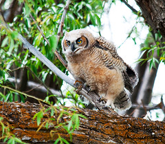 great-horned-owl-...baby (Pattys-photos) Tags: idaho greathornedowl camaswildlifemanagementarea