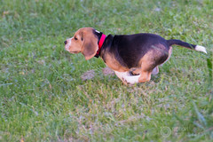 A fond ! (raphael.labourel) Tags: dog chien pets beagle iso sortie animaux balade