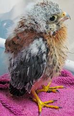 Baby Hawk (audreyjm529) Tags: from baby bird canon view you photos hawk or raptor everyone avian birdofprey babyx hawkxanimalxbirdxavianxcanonxrehabxrehabberxrehabitationx