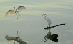 Landing Approach (hpaich) Tags: wild white reflection bird heron nature water fauna fly flying wildlife great wing feather reflect flies avian soar glide whiteheron greatwhiteheron