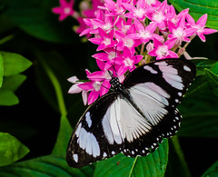 BF-7 (AZDenney) Tags: gardens butterflies insects publicgardens conservatories arboretums