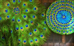 Peacock (Vincentdevincennes) Tags: india green colors streetlife peacock hinduism jaipur rajasthan masala