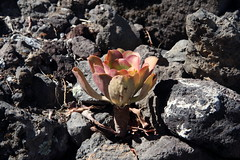 Life on lavas (Sergei Golyshev (AFK during workdays)) Tags: life plant nature ecology rock closeup lava islands succulent spain flora rocks extreme tenerife lichen canary crassulaceae biology volcanic aeonium conditions природа solidified острова испания растение лава тенерифе биология экологическая толстянка ниша канарские
