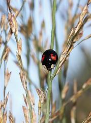 Harlequin Ladybird (RiverCrouchWalker) Tags: autumn red black grass insect beetle september spots cheeks ladybird essex stalks rhs harmoniaaxyridis harlequinladybird 2013 rettendon rhshydehall fconspicua