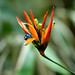"Heliconia • <a style=""font-size:0.8em;"" href=""http://www.flickr.com/photos/101688182@N03/9834450344/"" target=""_blank"">View on Flickr</a>"