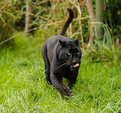 WHF 137 ([ Greg ]) Tags: black heritage wildlife foundation leopard bigcat bigcats panthera headcorn pardus whf