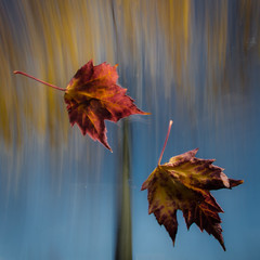 Leaving (Alan Drake) Tags: blue autumn red sky canada abstract blur colour fall leaves yellow digital maple nikon october exposure experimental britishcolumbia foliage d7000 tgam:photodesk=fall2013