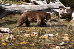 Black Bear with Salmon (Sierra Springs Photography) Tags: bear fall salmon laketahoe brownbear taylorcreek