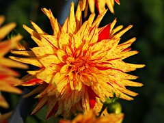 Nonna's Flowers (dons projects) Tags: city flowers orange canada colors yellow vancouver garden 50mm october colorful colours bc bokeh britishcolumbia sunny blumen olympus konica colourful olympuspen sonnig legacy manualfocus f28 vancouverbc eastvan eastvancouver hexanon f17 m43 mft fourthirds legacylens photoscape seeninvancouver konicahexanon epl1 microfourthirds 43 konicahexanon50mmf17lens olympuspenepl1 donsprojects