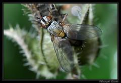 Solieria sp. (cquintin) Tags: arthropoda diptera tachinidae solieria
