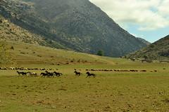 Ελεύθερα άλογα στην Ορεινή Κορινθία