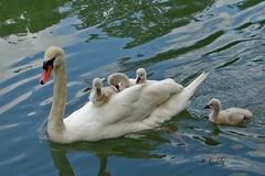 DSC01750a petite croisire (kadely ( ex: kadelioscope )) Tags: nature animal swan natural cygne 2222v22f 3000v120f specanimal goldwildlife infinitexposure