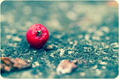 Eitt lti.. (Dra B.) Tags: red color macro fall iceland berry alone small ground fallen haust akureyri rautt ber litur dorabirgis