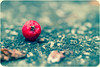 Eitt lítið.. (Dóra B.) Tags: red color macro fall iceland berry alone small ground fallen haust akureyri rautt ber litur dorabirgis