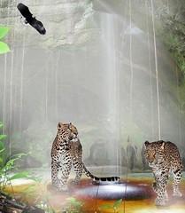 A procura da caa (Iva Castro) Tags: animal natureza selva pssaro tigre fera caverna caa
