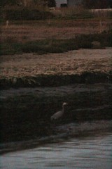 IMG_2499 (armadil) Tags: sunset beach heron beaches greatblueheron mavericks californiabeaches
