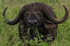 African Buffalo - Nairobi National Park (pierre c. 38) Tags: kenya africanbuffalo nairobinationalpark buffledafrique kenyanationalreserve