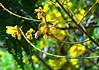 Warmth of April (I Nair) Tags: copperpod peltophorumpterocarpum warmthofapril haldigulmohur