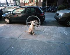 Stoic Dog (neilsonabeel) Tags: street nyc newyorkcity dog 120 mamiya film brooklyn lens jay kodak dumbo front 400 medium format analogue 6x7 portra 43mm 7ii