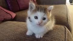 runt (noneyabuz) Tags: cats animals kittens kittys