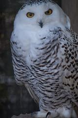 Snowy Owl (salix_flick) Tags: animals japan zoo nikon kyoto   nikkor   d600