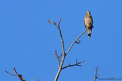 Grey-faced Buzzard / Butastur indicus / เหยี่ยวหน้าเทา (bambusabird) Tags: bird nature forest canon thailand rainforest natural wildlife raptor tropical chiangmai buzzard 500mm