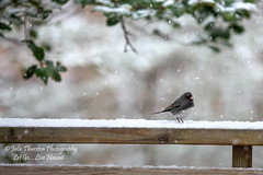Junco Enjoying the Snow, Maryland (Julie Thurston) Tags: wood trees house snow nature beautiful beauty yard forest canon us woods stream solitude quiet flag branches scenic maryland peaceful holly steam deer bark 5d canon5d snowing markiii sylvane silvane canon5dmarkiii
