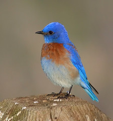 California: Western Bluebird (spiderhunters) Tags: stanford bluebird northamericanbirds westernbluebird sialiamexicana stanforddish sfbaybirds