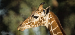 Giraffe Panoramic Portrait (a.o.tucker) Tags: arizona unitedstates giraffe litchfieldpark wildlifeworldzoo
