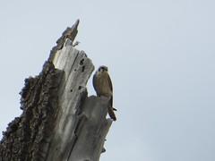 Birding Alamosa - 13 (sfgamchick) Tags: bird colorado birding americankestrel kestrel falcosparverius