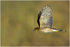cooper's hawk (Christian Hunold) Tags: coopershawk hawk accipiter bokeh birdofprey raptor bird johnheinznwr philadelphia christianhunold