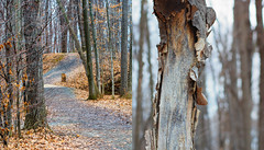 Woodland Wander (hmthelords) Tags: activeassignmentweekly woods nature outdoors path trees bark bestofweek1 bestofweek2 bestofweek3