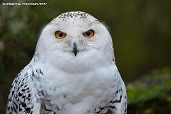 Snow owl - Tierpark Nordhorn (Mandenno photography) Tags: dierenpark dierentuin dieren duitsland nature owl snow snowowl nordhorn tierpark germany