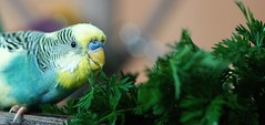 Henry (StephanieSL) Tags: wellensittich budgie vogel bird möhrengrün sonyalpha sonyalpha68