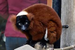 Red Ruffed Lemur (Bri_J) Tags: tropicalbutterflyhouse northanston sheffield southyorkshire uk yorkshire butterflyhouse nikon d7200 redruffedlemur lemur vareciarubra sigma150600mm