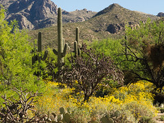 Brittlebush blooming in Sabino Canyon along the Esperero Trail (Distraction Limited) Tags: sabinocanyonrecreationarea sabinocanyon coronadonationalforest santacatalinamountains catalinamountains catalinas nature tucson arizona sabinocanyon20170329 enceliafarinosa brittlebush goldenhills hierbadelvaso cotx incienso encelia flowers wildflowers espererotrail
