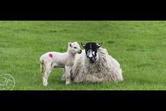Ewe & Lamb 3 (JoshJackson84) Tags: canon60d sigma18250mm europe uk england lancashire downham sheep ewe lamb portrait