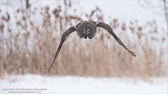 Incoming Great Grey Owl (Raymond J Barlow) Tags: nature bird birdinflight owl greatgreyowl phototour raymondbarlow travel workshop adventure real outdoor