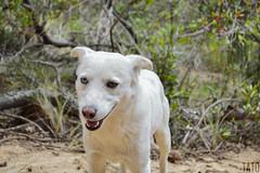 Alguien esta feliz (Tato Avila) Tags: colombia perro peludo dog miradas animal vida desierto desiertodelatatacoita colores cálido campo heterocromía ojos ojosazules hocico