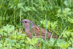 Dunnock (martinstelbrink) Tags: heckenbraunelle braunelle dunnock bird vogel garden garten germany nrw nordrheinwestfalen niederrhein sony alpha77ii a77ii a77m2 sigma120400mmf4556 sigma tele