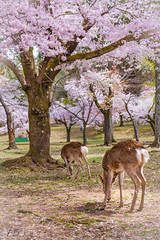 The fairytale of Nara (Nicelittlewood) Tags: cherryblossom nara giappone japan spring primavera cervi deers fable fairytale favola