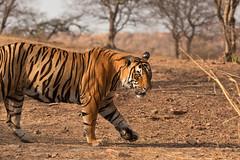 1396 Day 8 Tigers (brads-photography) Tags: india male nationalpark pacman pantheratigristigris rajasthan ranthambore royalbengaltiger sawaimadhopur t85 tiger tigerreserve walking wildlife