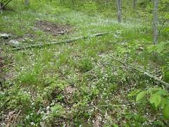 Phacelia dubia_smallflower phacelia_Silver Mills (Pete&NoeWoods) Tags: bedfordcnhi bedfordcounty f16woo18 silvermillsbarrens shalebarren plants flower phaceliadubia smallflowerphacelia