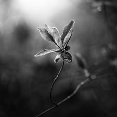 Walk in the woods (Horsford) 28/03/2017 (Matthew Dartford) Tags: bw blackandwhite bokeh bokehlicious flower flowering lowkey mono monochrome plant vine vines