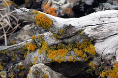 Pleasant Valley Lichens (pchgorman) Tags: lichens pleasantvalleyconservancy danecounty wisconsin prairied savannahs april
